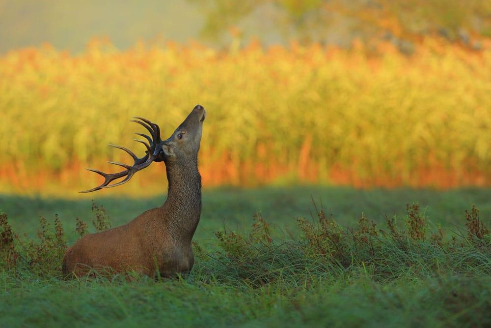 Slušanje rike jelena u Kopačkom ritu